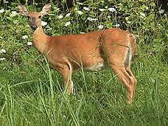 Deer London Ontario image 2