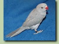 grey baby ringneck parrots 12 weeks old males and females easy to train with papers