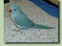 blue baby ringneck parrots 12 weeks old males and females easy to train with papers