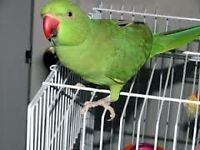 baby green ringneck parrots 12 weeks old males and females easy to train with papers