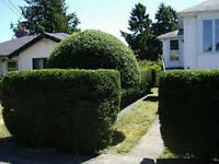 Trimming Special! Hedges, Shrubs, Trees Pruned - 10% off!