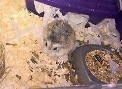 Baby Roborowski hamsters