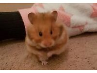Ready for Adoption - Ruffus Male Syrian Hamster