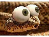 Carmel jag carpet python