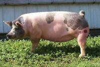 FEMALE ADULT PIG FOR SALE