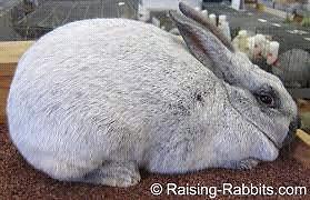 Champagne D'Argent Rabbits