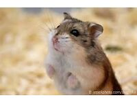 Hamsters free to good home