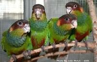 ♥☆.¸.•´¯`♥♥☆.¸.•´¯`♥Blue Throated Conures♥☆.¸.•´¯`♥♥☆.¸.•´¯`♥