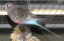 Parrots from $30.00 Valley View Salisbury Area Preview