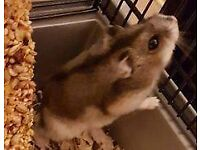Ready for Adoption - Pablo Russian Dwarf Hamster