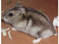 Beautiful Tame Winter White Hamster