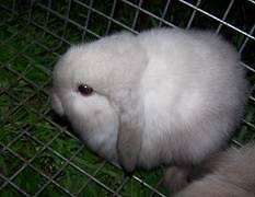Cheap Purebred Miniloped Rabbits Sunshine Brimbank Area Preview