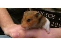 Ready of Adoption - Alex Syrian male hamster