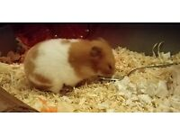 Looking for a home for a lovely female Syrian hamster.