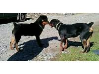 Rottweiler pups for sale £225