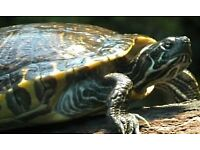 Turtle/Terrapin (yellow bellied slider) 2 year old
