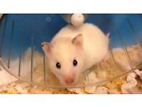Crystal young female Syrian hamster. Contact Smokies Haven rescue for more details