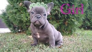 Blue, Blue fawn and blue sable quality French bulldogs for sale