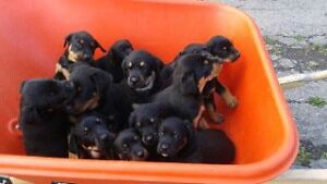 Chiots rottweller mix berger allemand doberman