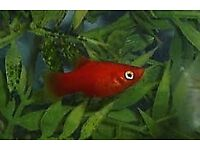 Young Platys for sale
