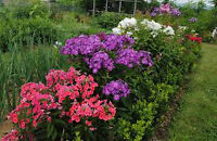 Phlox Perennial Plants - 3 clumps w/approx. 20 plants each