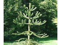 WANTED GOOD SIZE MONKEY TREE CAN COLLECT LOCALLY CASH WAITING