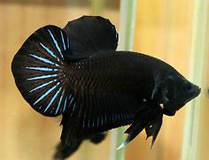 Black Orchid Halfmoon Plakat Bettas (Male) Downtown-West End Greater Vancouver Area image 1