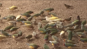 Gouldian finches bird Londonderry Penrith Area Preview