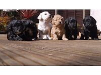 Stunning Toy Shnoodle Puppies. Reared in a loving family home. Handled every day