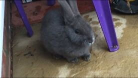 2 rabbits 1 grey 1 white they r small with small hutch.