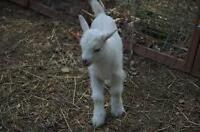 Looking for healthy newborn doelings/ Dairy goats