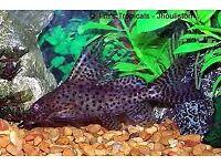 Sailfin synadontis catfish