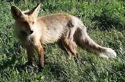 Fox Hunting DVDs