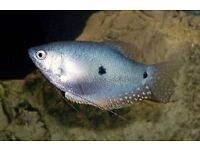 3 spot gourami for fish tank aquarium kofh