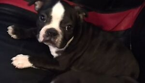 Boston Terrier Puppies With Health Guarantee