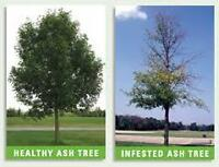 Tree Removal Service. Ash,oak,pine.spruce,willow,tree .We do all