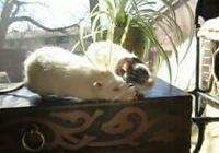 """Adult Male Small & Furry - Rat: """"Ghost & Buster"""""""