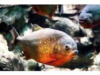 Red bellied piranha + tank £80