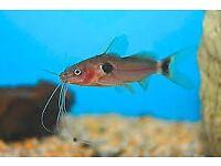 Mystus bimaculatus / two spot catfish