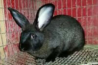 13 Week old NewZealand-Flemish Cross Rabbits