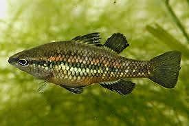 Pigmy Perch : WA Native Fish: 7 for $40.00