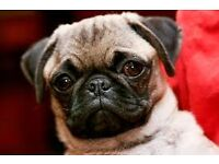 Pugs Rehoming