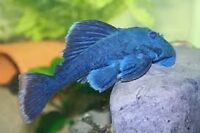 PLECO BLUE PANAQUE 4 PO.