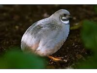 5 painted quail for sale