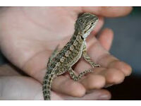 baby bearded dragon with viv