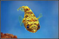 porcupine puffer fish for sale 70.00