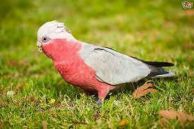 Young Galah Parrot Adelaide CBD Adelaide City Preview