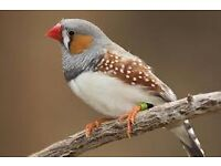 16 Zebra Finches £10 - AVIARY CLEAR OUT