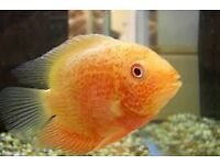 2 x Red Severum Cichlids