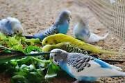 Budgies for sale Mannum Mid Murray Preview